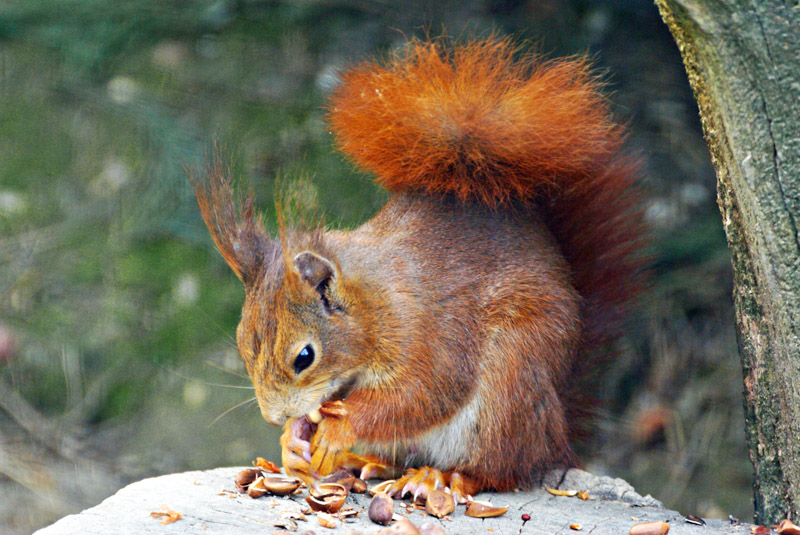 RED SQUIRREL FEEDING by Geoff Burnett CPAGB