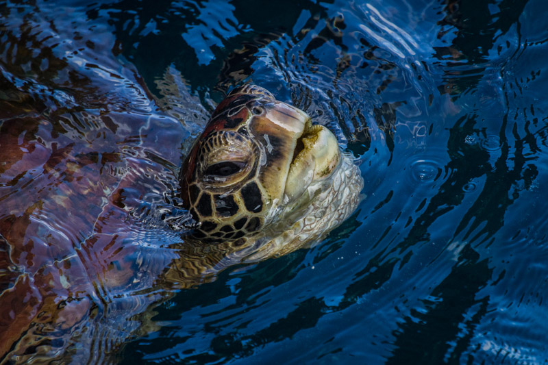 SEA TURTLE COMING UP FOR AIR by Teresa Hehir