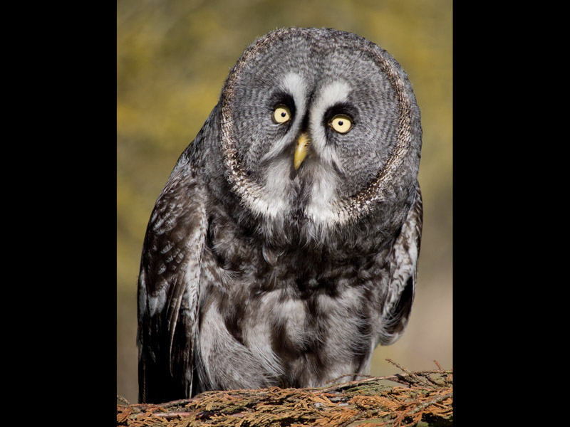 GREAT GREY OWL PERCHING by Claire Williams