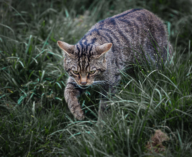 SCOTTISH WILD CAT by David Greenwood