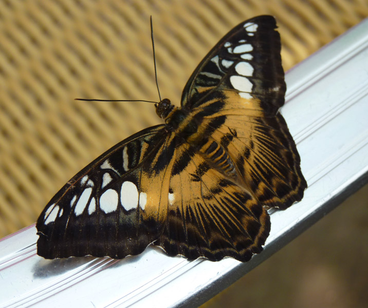 BROWN CLIPPER BUTTERFLY by Jenni Theaker