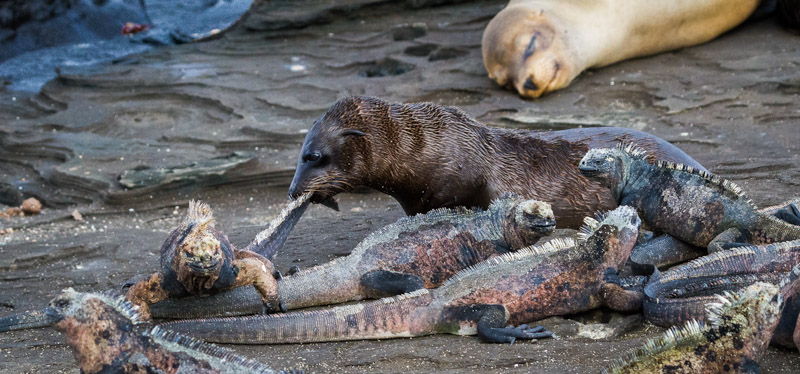 SEALION PUP PLAYING WITH IGUANA'S TAILS by Teresa Hehir