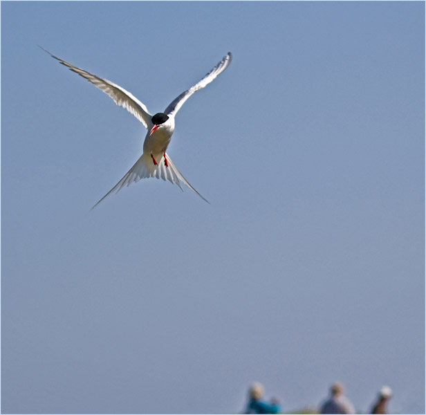ARTIC TERN ON THE DEFENSIVE by Alan Jaycock