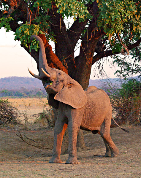 YOUNG BULL ELEPHANT FEEDING AT SUNSET by Geoff Burnett CPAG