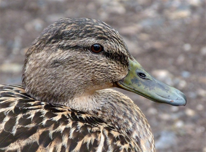 PORTRAIT OF A DUCK by Jenni Theaker