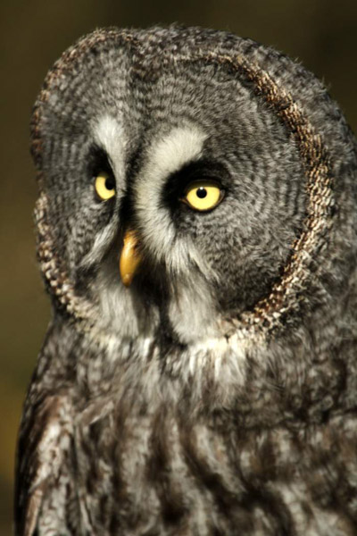 GREAT GREY OWL by Tracey Jones