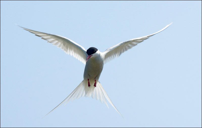 ARTIC TERN HOVERING by Alan Jaycock