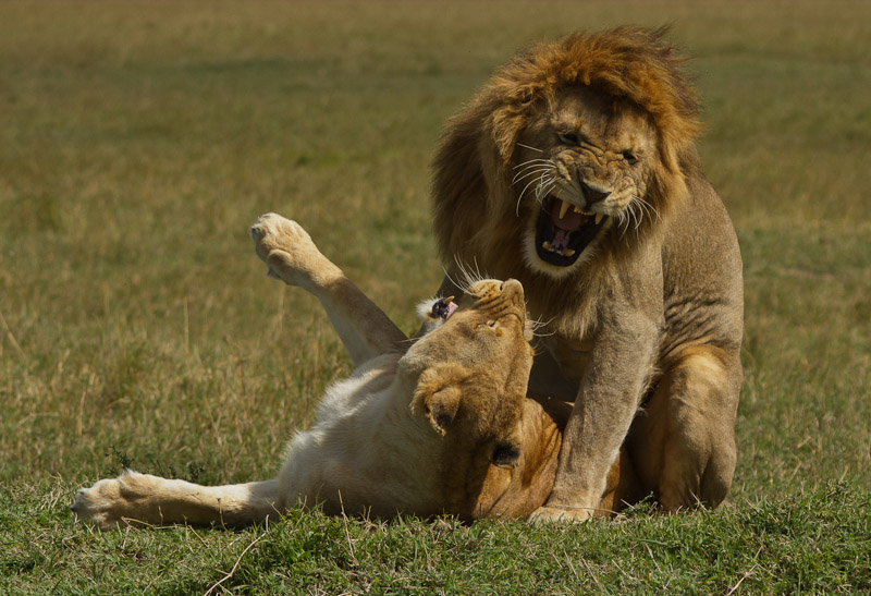 LIONS MATING by Teresa Hehir
