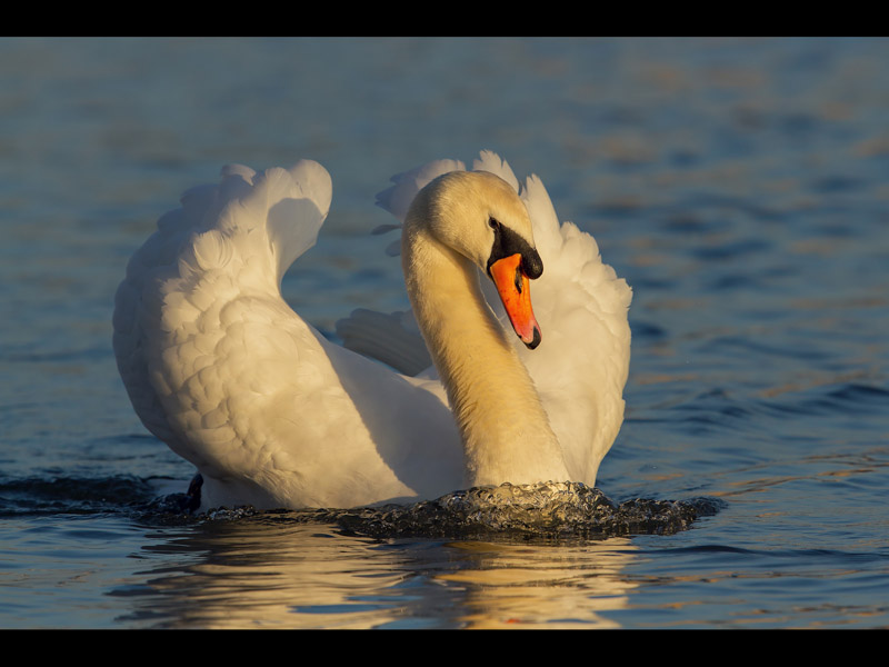 MAJESTIC MUTE SWAN by Lee Brown