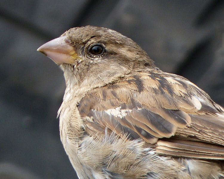 PORTRAIT OF A SPARROW by Deena Theaker