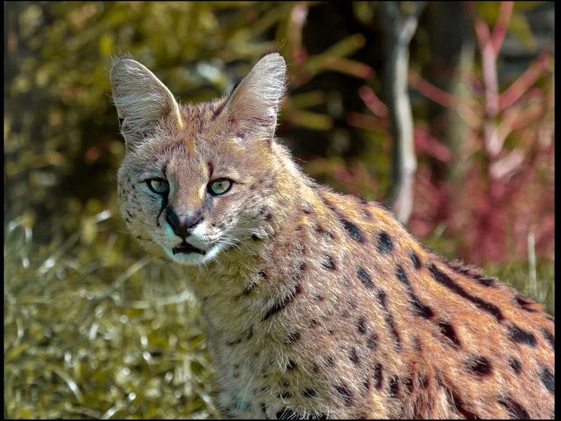 SERVAL by David Greenwood